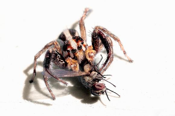 Araña y mosca