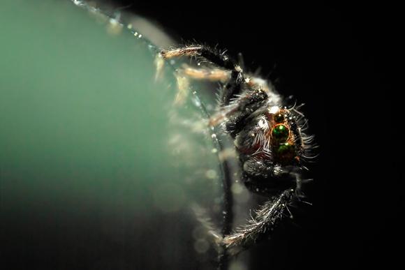 Fotografía macro araña saltarín