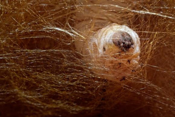 Fotografía macro gusano de seda