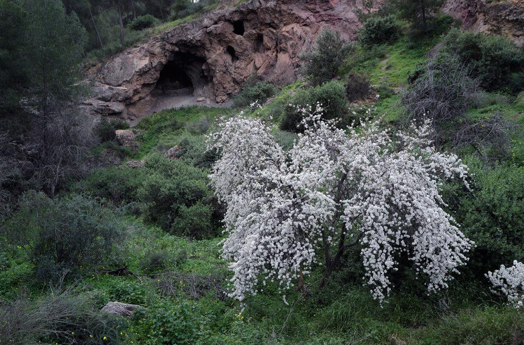 Floración de almendros en Santo Ángel