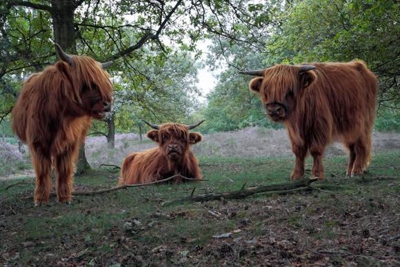 Vacas en Holanda | Fotografía: Jerome van Passel