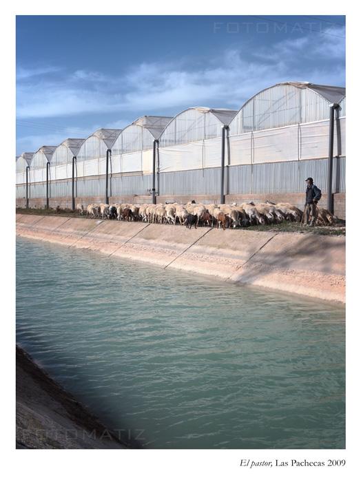El pastor y sus ovejas en las Pachecas