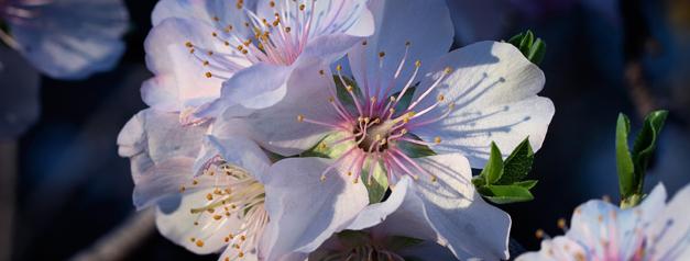 Floración de almendros en Murcia